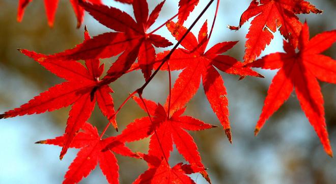 Un oto o menos rojo for Arboles que no se le caen las hojas en invierno