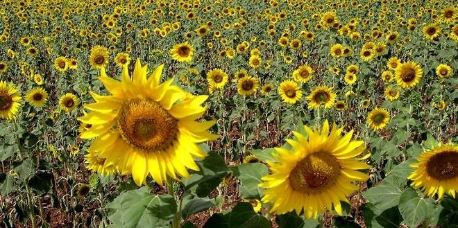 Descubren por qu las plantas se mueven hacia el sol - Flores que aguantan el sol ...