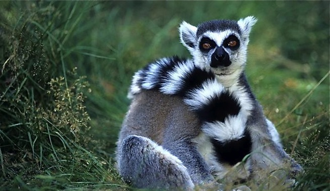 Q Son Los Lemures los lemures de Madagascar