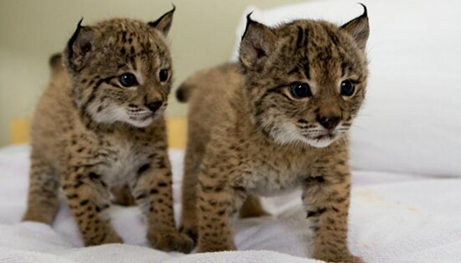 El lince ibérico en peligro por el cambio climático Cute Siberian Tiger Cubs