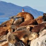 Los leones marinos sufren el cambio climático