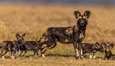 Perro salvaje africano