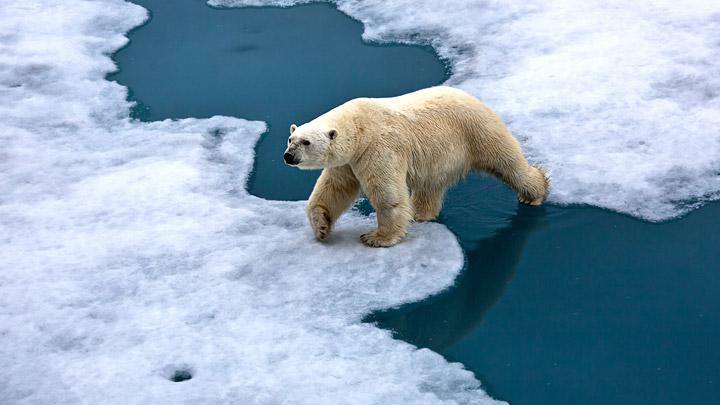Oso-polar-camina-sobre-el-hielo