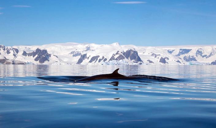 Ballenas artico