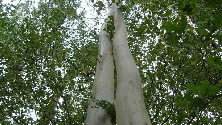 eucalipto-arboles