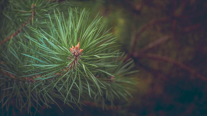 pinos-silvestres